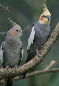 Silvestre Macho e Fêmea