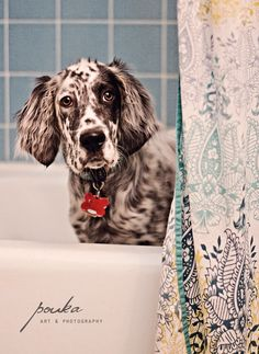 puppy bath time! English Setter. Dog photography portrait.