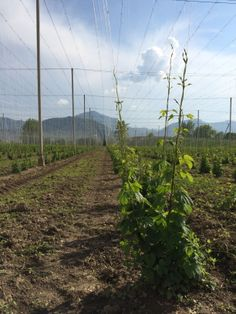 Some good growth on some 2nd year Celeja hops.  Picture taken in May 2014 during a trip by 47Hops to the region.