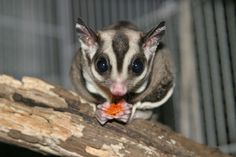 sugar gliders good pets. Normally healthy and balanced, durable little critters, sugar gliders have the tendency to have couple of clinical issues. In bondage, their lifetime could be as long as 14 years.
