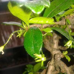 Takhle mi vykvetla bonsay