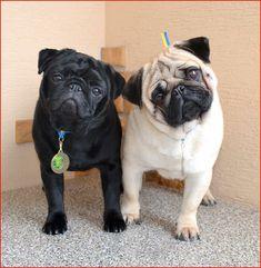 Black #pug with fawn pug