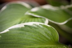 Variegated Hosta - License Botanical Images & Stock Photography  from http://archive.chrisridley.co.uk - This image is Copyright Chris Ridley.