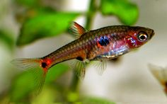 Least Rasbora, they're sooo cute !