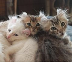 American Curl Kittens For Sale - Kittens