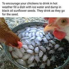 Chicken Coop - - Getting chickens to drink in hot weather Building a chicken coop does not have to be tricky nor does it have to set you back a ton of scratch. Backyard Chicken Coops, Chicken Coop Plans, Building A Chicken Coop, Diy Chicken Coop, Backyard Farming, Chickens Backyard, Chicken Coop Designs, Chickens In Garden, Chicken Coop Pallets