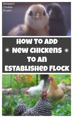 Introducing new chickens to your existing flock can be stressful on both you and the birds. We've made it easy with this step by step guide for a strategy that works every time! Raising Backyard Chickens, Backyard Chicken Coops, Keeping Chickens, Diy Chicken Coop, Pet Chickens, Backyard Farming, Chicken Ideas, Chicken Garden, Urban Chickens