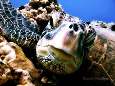 Sea Turtles can live to be 80 yrs old.