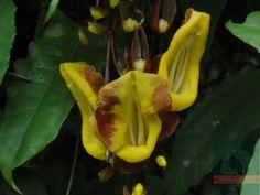 Thunbergia mysorensis, sapatinho de judia