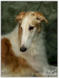 'Borzoi White and Gold' by Maxine Bochnia Digital photograph as a painting.
