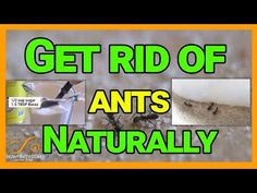 How to kill ants naturally with Borax Do you have an ant problem in your home or kitchen? You can get rid. Borax For Ants, Ant Problem, Get Rid Of Ants, Unique Gardens, How To Get Rid, Organic Pesticides, Cleaning, Youtube, Spiders