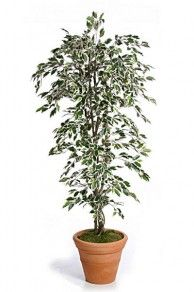 Standard Artificial Variegated Ficus Tree