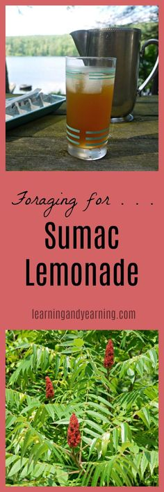 Foraging can be a fun way to add nutrients to your table – for free! Staghorn Sumac is super easy to identify and a cinch to harvest. And it's just as simple to make a delicious beverage with it, also known as Indian Lemonade. Native Americans also made a cough syrup with Sumac, and gargled …