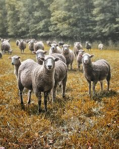 Sheep Ewes Lambs Pasture