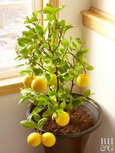 Yes, You Can Grow Fruit Indoors is part of Indoor fruit plants - Enjoy growing fruits indoors—even if you live outside the tropics—in containers Indoor Lemon Tree, Indoor Fruit Trees, Fruit Plants, Fruit Garden, Indoor Plants, Herbs Garden, Lemon Tree Potted, Growing Fruit Trees, Growing Plants Indoors