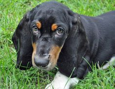this is not my puppy but mine has basset in him and he gives me this same look! so sweet.