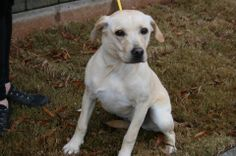Hillie is the 5 month old lab mix sister of Haven & Hallie. Contact Debbie at drappuhn@aol.com. Available at Florence Animal Shelter, Florence, AL.