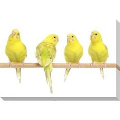 @Overstock - Artist: UnknownTitle: Yellow Budgie BirdsProduct Type: Oversized Gallery Wrapped Canvashttp://www.overstock.com/Home-Garden/Yellow-Budgie-Birds-Oversized-Gallery-Wrapped-Canvas/6323197/product.html?CID=214117 $129.99