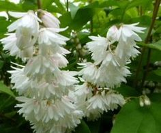 Fehér teltvirágú gyöngyvirágcserje, Deutzia scabra 'Plena'