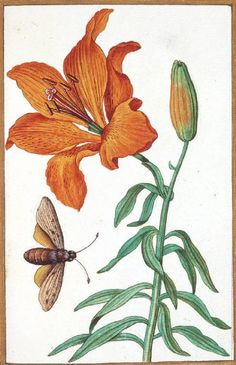 Antoine du Pinet, Lilium Bulbiferum (Orange Lily) with an insect, 16th century (source).