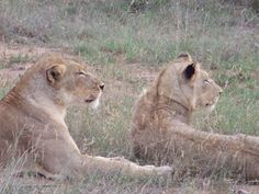 Lions in the Timbavati Reserve