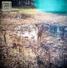 #deer #nature #diana #westhawk #photography  A deer on a trail in West Hawk Lake, taken with a Diana.