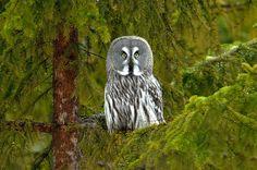 Great Gray Owl (Strix Nebulosa).    --FACE--
