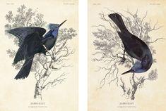 jabberjay | Illustrations of Jabberjay - Audobon Style - for President Snow's ...