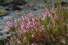 kanerva (Calluna vulgaris)