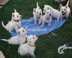 """West Highland White Terrier Puppies"" by Art Photography ""West Highland White Terrier Puppies"" by Photography Moments, Boise // West Highland White Terrier Puppies // -- Buy stunning, museum-quality fine art prints, framed prints, and canvas prints direct Westies, Westie Puppies, Terrier Puppies, Cute Puppies, Cute Dogs, Dogs And Puppies, Puppies Tips, Chihuahua Dogs, Terrier Mix"