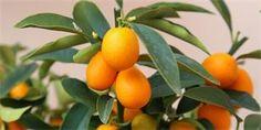 Jak pěstovat kumkvat neboli zlatou mandarinku