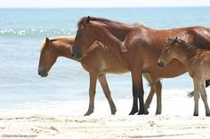 Corolla Beach OBX Vacation (4x4 and wild horses)...peaceful and beautiful.......Hope to return!!!!!!!!!