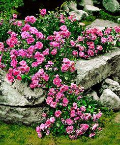 Bodembedekkende roos 'Pink The Fairy' - 40cm hoog bloei: juni-okt
