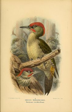 Green Woodpecker, Coloured Figures of the Birds of the British Islands / issued by Lord Lilford, 1885-1897