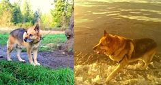 German Shepherd Rescued After Spending 13 Years Tied to a Tree... Poor baby!! Will never understand how people can be so cruel! JJ is looking for his forever home preferably in the Seattle area. Please share and hopefully he'll find the loving home he deserves!