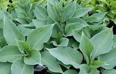 """Gum Drop Hosta"" Love the shape and color"