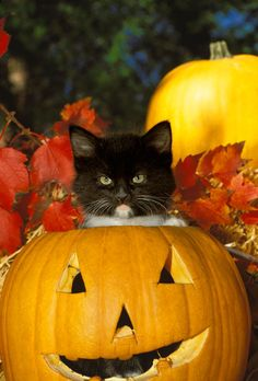 Stern but very adorable black kitten sitting inside Halloween pumpkin Kittens Cutest, Cats And Kittens, Cute Cats, Kitty Cats, Grumpy Kitty, Funny Cats, Crazy Cat Lady, Crazy Cats, Fall Cats