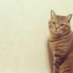 「おやすみにゃさい。  素敵な夢を #おやすみにゃさい#ココたん#キジトラ#しましま軍団#cat#猫#ネコ#ねこ#ニャンコ」