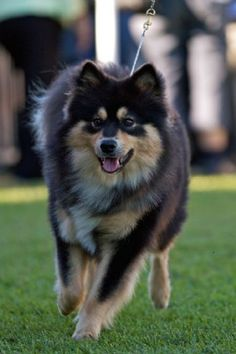 Finnish Lapphund #Dog #Puppy