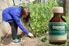 Борная кислота для растений, применение – помидоры, огурцы, перцы, для капусты, роз, орхидей, для комнатных растений, как развести и отмерить, во время цветения и для увеличения завязей