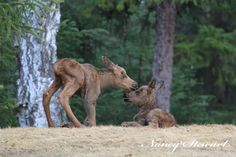 One day old twin baby moose. This picture is so cute