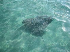 Spotted Eagle Ray at Peanut Island, summer 2010