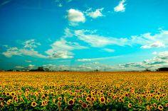 Sunflowers mustard yellow shocking blue photo flower by bomobob, $30.00