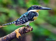 Green Kingfisher [Adolescent Male] (Chloroceryle americana) - Webberville, TX https://en.wikipedia.org/wiki/Green_kingfisher ____________________________ Photographer: Brent Joseph Smith © 2017 http://facebook.com/celalaterra (Nature Page) http://facebook.com/fivetwelvestudios (Studio Page) #bird #kingfisher #greenkingfisher #wildlifephotography #naturephotography  Visit CeLaLaTerra.com to order brilliant life like prints direct to your door.