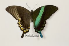 Tropical Swallowtail Butterfly, Papilio blumei, photography by:  Darrell Gulin