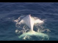 Migaloo: first all white Humpback Whale spotted. Hope Migaloo lives a long happy life...