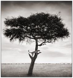 Cheetah on a tree by Nick Brandt