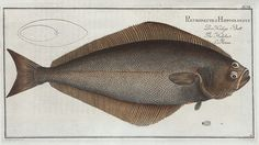 Pleuronectes Hippoglossus, The Holybut. (1785-1797)