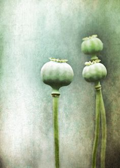 elinka: The quiet conversation… By Pauline Fowler Blue In Green, Floral Photography, Soft Sculpture, Natural Forms, Canvas Prints, Art Prints, Painting Inspiration, Poppies, Flowers