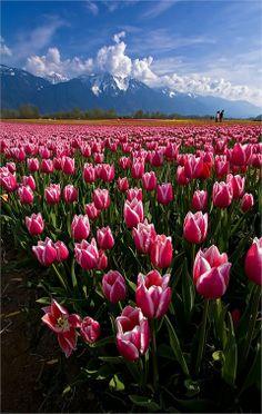 Tulip fields in Agassiz, British Columbia, Canada   Top 20 Beautiful Nature & Places In Canada.